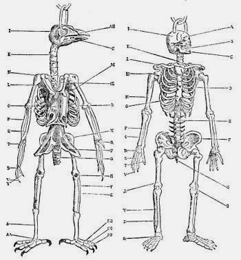 350px-PSM_V34_D714_Skeletons_of_a_bird_and_man